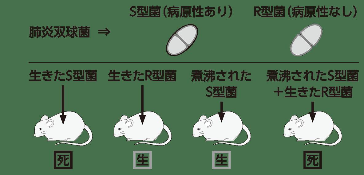 高校 生物基礎 遺伝子1 ポイント2 肺炎双球菌とネズミの段