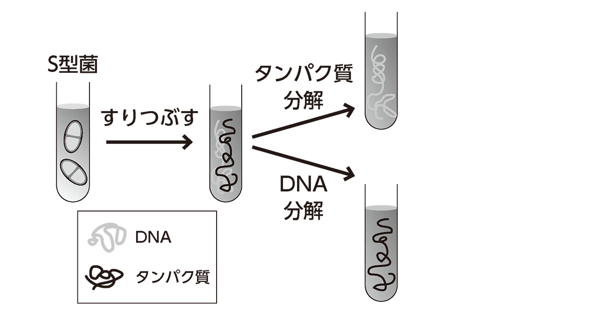 高校 生物基礎 遺伝子2 ポイント1 左から3つ目の図まで 3つ目の図に付随するテキストや矢印は不要