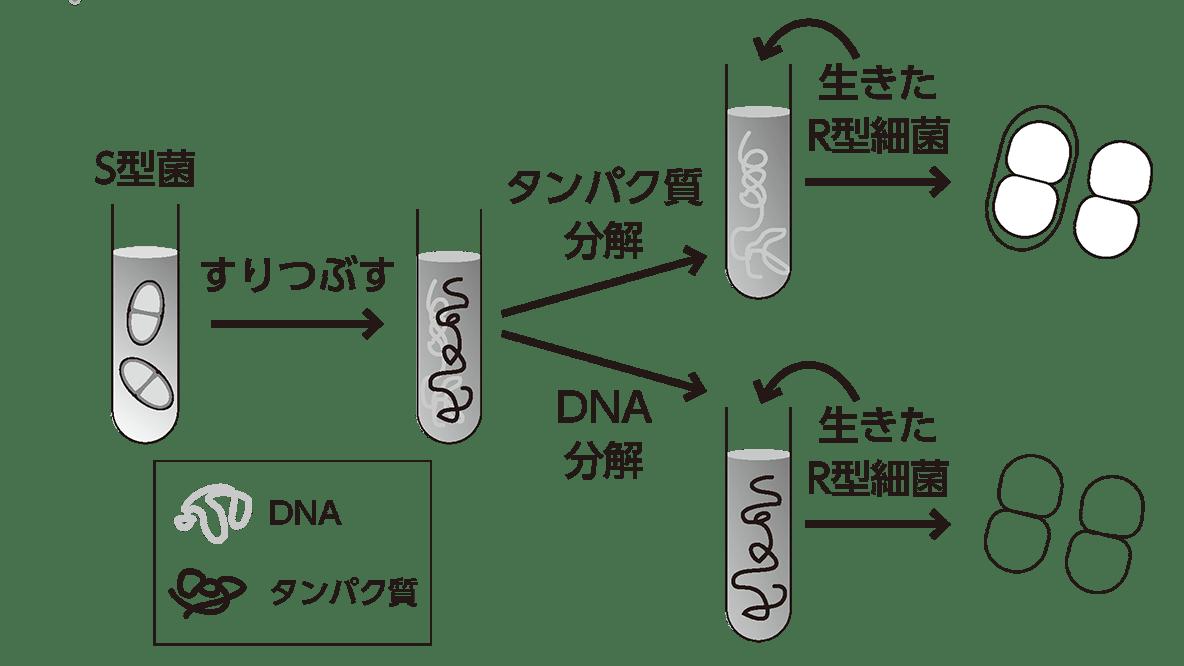 高校 生物基礎 遺伝子2 ポイント1 囲み以外