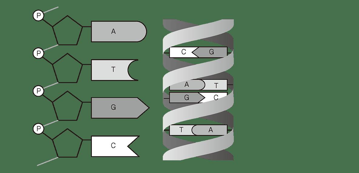高校 生物基礎 遺伝子5 ポイント2 図のみ