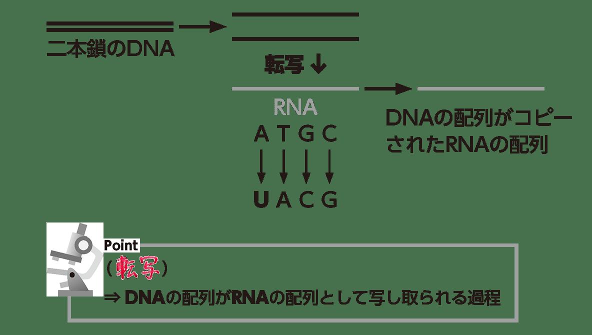 高校 生物基礎 遺伝子6 ポイント2 答え全部