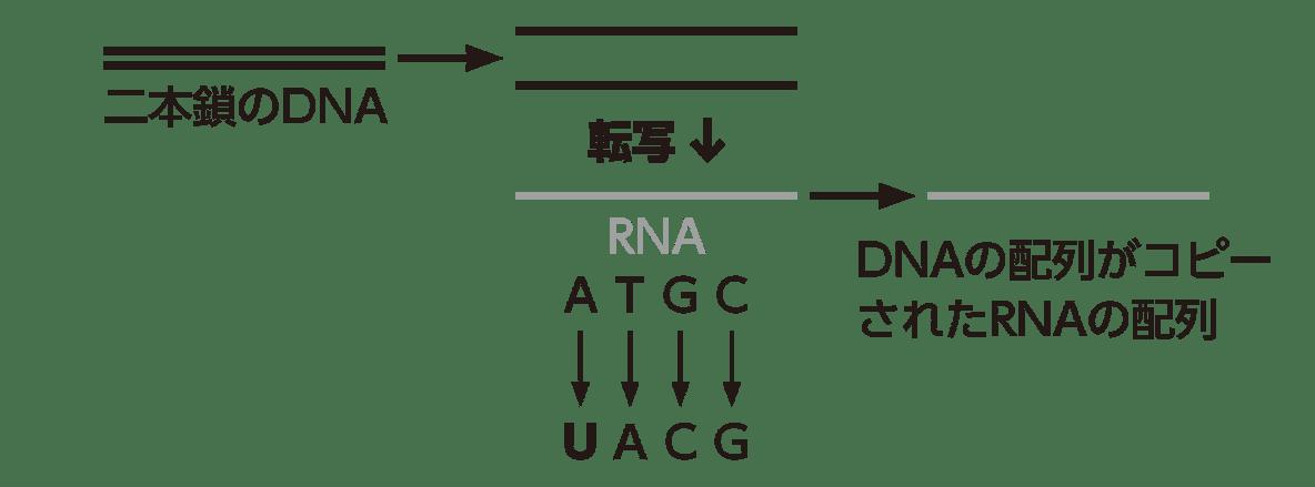 高校 生物基礎 遺伝子6 ポイント2 図のみ