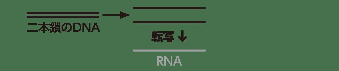 高校 生物基礎 遺伝子6 ポイント2 図のうち一番右側のぞく