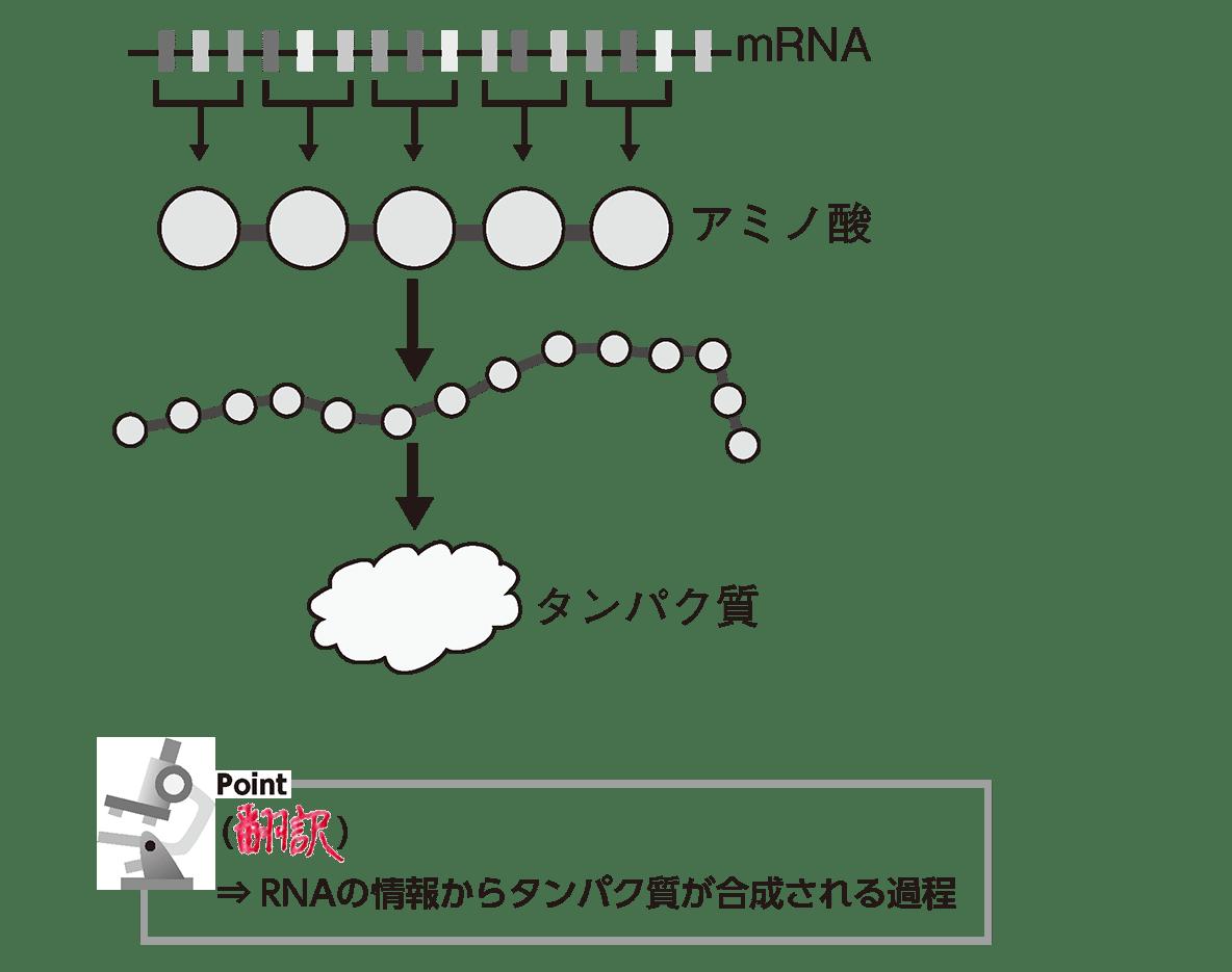 高校 生物基礎 遺伝子8 ポイント1 答え全部