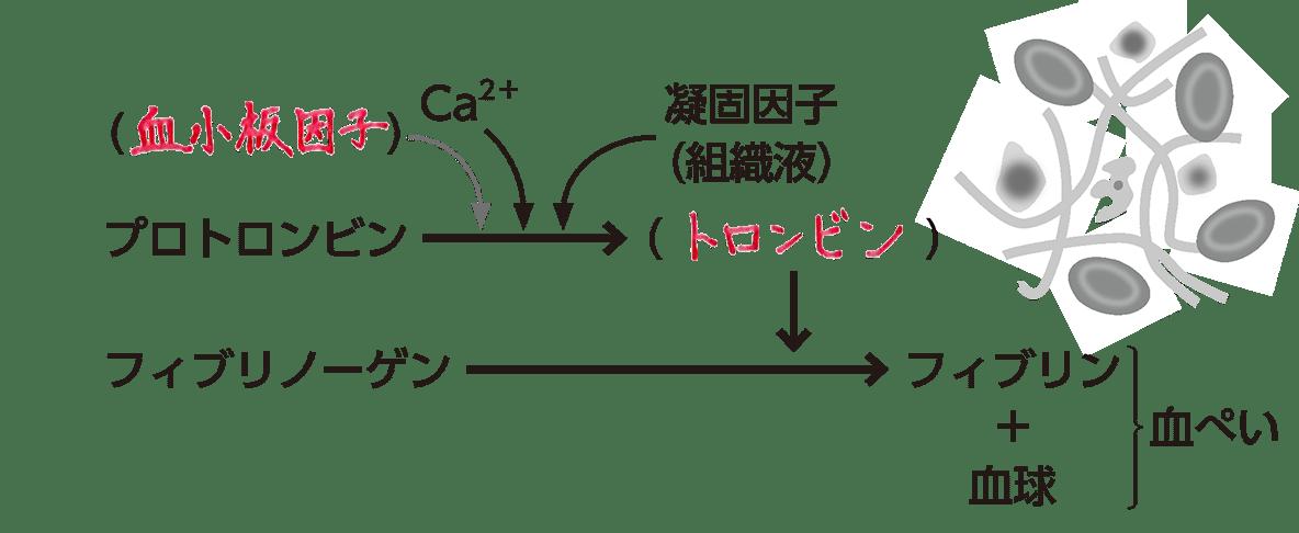 高校 生物基礎 体内環境の維持5 ポイント2 図()穴埋め