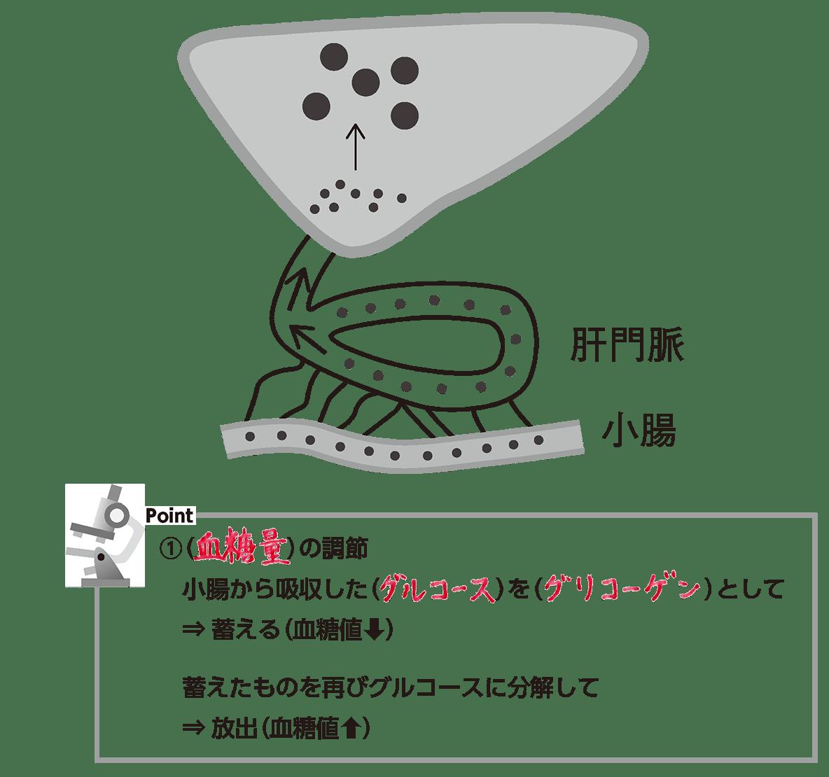 グリコーゲン 分解