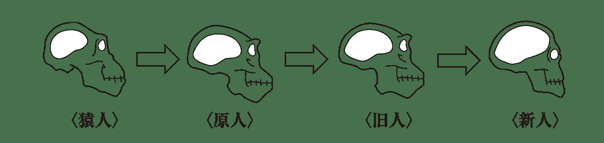 高校世界史 先史時代1 ポイント2 脳容積の遷移図(猿人→・・・→新人)のみ、残りは不要