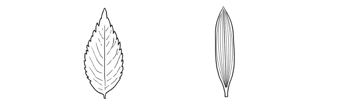 葉脈 網状脈と平行脈