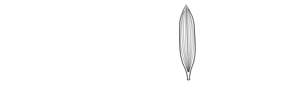 葉脈 平行脈